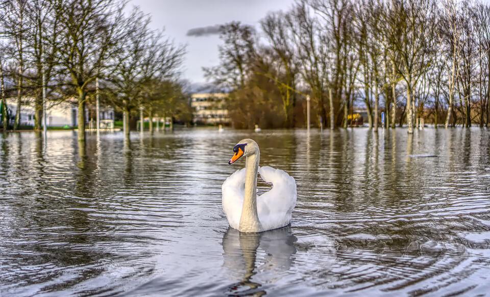 Cygne dans une zone inondé